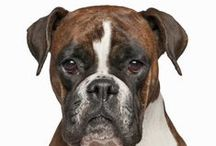 Boxer / In 1894, three Germans named Roberth, Konig, and Hopner decided to stabilize the breed and put it on exhibition at a dog show. This was done in Munich in 1895, and the next year they founded the first Boxer Club. The breed became known in other parts of Europe in the late 1890s.  See more at: http://www.noahsdogs.com/m/dogs/breed/Boxer#sthash.gDb4dMCd.dpuf  www.NoahsDogs.com