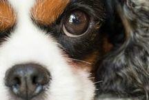 Cavalier  / ....Sono i cani più belli e dolci del mondo di cui sono perdutamente innamorato ❤️❤️❤️❤️...