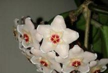 porcelanowy kwiat czyli moje hoye...