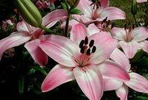 L  I  L  I  A / Lilia (Lilium L.) – rodzaj bylin cebulowych z rodziny liliowatych, obejmujący około 75 gatunków. Wiele z nich to znane rośliny ozdobne. Gatunkiem typowym jest lilia biała (Lilium candidum L.). Od niepamiętnych czasów lilia symbolizuje królewskość, majestat i chwałę. Według mitologii greckiej i rzymskiej była poświęcona Herze (Junonie; powstała z jej mleka) i nielubiana przez Afrodytę.  W chrześcijaństwie uchodzi za symbol niewinności, czystości, dziewiczości i zmartwychwstania. (Wikipedia)