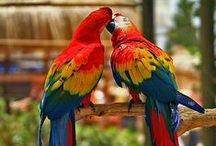 The Scarlet Macaw Parrot / These we have here are Scarlet Macaws, the largest of all parrots. There are 16 species of macaw in the world ranging from small ones about 30 centimetres long to ones over a metre long.