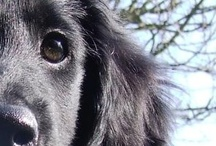 Flatcoated Retriever; forever family dog