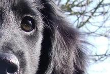 Flat Coated Retriever; forever family dog