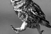 Oiseaux - Chouettes / Le hibou se distingue de la chouette par la simple présence d'aigrettes sur la tête