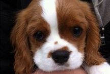 Chiens Cavaliers King Charles