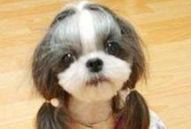 Chiens - Shih tzu / Chihuahua