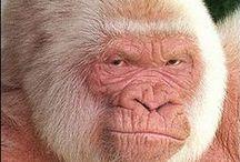 Anim - Albinisme/Mélanisme / Albinisme : absence de mélanine, aucune pigmentation dans cheveux, peau ou yeux. Leucisme : couleur blanche des téguments, les yeux ont une pigmentation normale. Mélanisme : excès de production de mélanine, pigment de couleur noire