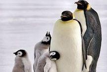 Anim - Pingouins / Girafes