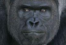Singes - Gorilles