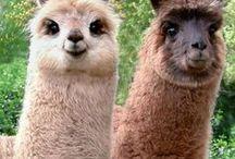 Anim - Lama/Alpaga/Wombat / Lama : le plus grand des petits camélidés, de 1m à 1,25m. Oreilles longues et arrondies aux extrémités -----------  Alpaca : le plus petit des camélidés, de 90cm à 1m, Oreilles droites et courtes ----- Wonbat : petit marsupial