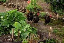 Poultry and the Garden / Can you have chickens AND a garden?