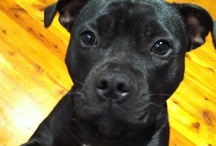 Rosie the Naturopaths pooch / Well its not just me that is healthy! My two year old staffy is all over it too