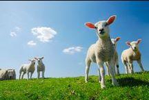 inspiration for painting sheep - inspiratie om schapen te schilderen