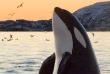 シャチ Orca