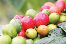 Our Kona Coffee Farm / Since 1991, we have been roasting, brewing, and selling the finest coffees in the world. By controlling the impeccable high-quality processes, you'll taste our passion for superior quality brewed into each cup.  We begin our Farm to Cup story with our prized Kona coffee farm, located on the beautiful slopes of the Mauna Loa volcano, on the Big Island of Hawaii.