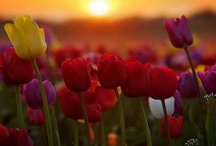 Tulips / My favorite flowers :) Tulips bloom in the beginning of spring season. Tulips symbolize a new beginning. They symbolize: love (red), purity (white), royalty (purple), happiness (orange), friendship (yellow), perfect happiness (pink).