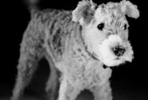 Terrier Love / by Amy Flick