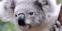 1. Aussie animals / the beatiful (pouch) animals of Australia. and the Koala is NOT a bear.