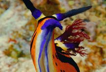 Dive Nudibranch & Slugs