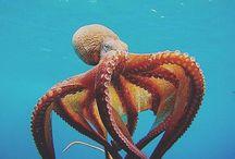 Dive Octopus & Squid pics