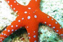 Dive Starfish Pics