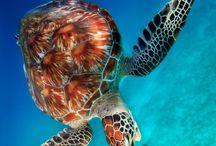Dive Turtle pics