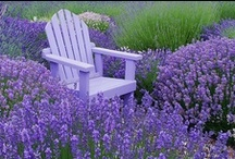 Lavender's Blue Dilly Dilly