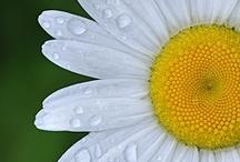 Daisy Daisies