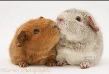 Guinea pigs, animals