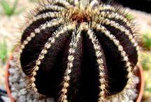 Cáctus. Suculentas. Crasas. / Belleza natural de unas plantas realmente curiosas.