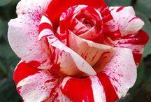 Rosas / La rosa, la flor más hermosa