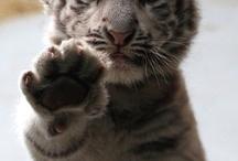 Tigers : )