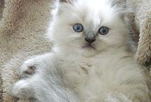 Rag doll cat / I luv ragdolls my cat a ragdolls