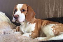 Beagle / Beagle pics