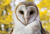 Owls: Barn Owls