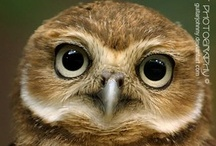 Owls: Burrowing Owls