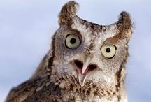 Owls: Screech Owls