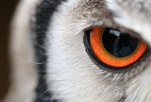 """Owls: Transformer Owls / The Northern and Southern White-Faced Scops Owl is known for taking on three different shapes, earning it the name """"Transformer Owl""""."""