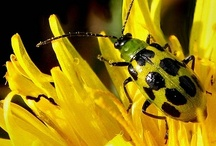 Coleoptera: in yellow
