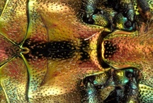 Coleoptera: in orange