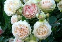 Rose garden / Gardening