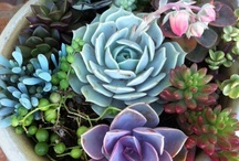 Succulent Container Gardens / My favorite go-to plants for striking containers are Aloe 'Blue Elf', Echeveria peacockii, Echeveria 'Perle von Nurnberg', and Anacampseros 'Sunrise' -- details on each below. Be sure to use Cactus/Palm soil (or your own fast-draining mix). Use a chopstick to pack the dirt around the newly placed plants. I use aquarium gravel on top of the soil -- cheap at Walmart. I invert a regular pot under my succulent bowl as a plant stand. / by Victoria