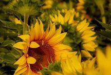 sunflower / sunflower