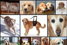 Ginger / Ginger, the Golden Retriever that inspired the GingerLead Dog Support & Rehabilitation Harness.  Learn more about Ginger and her innovative dog sling at:  http://gingerlead.com/dog-slings-our-story.htm
