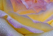 Flowers / by carolyn maclaury