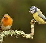 ptaki 2/ birds / sikorka, wróbel, grubodziób,jaskółka, raniuszek,rudzik,kos kowalik, szpak, strzyżyk, kopciuszek, szczygieł, mysikrólik, ogniczek, podróżniczek, gil, wilga, żołna, kraska, czyż, dzwoniec, zięba,pełzacz leśny i ogrodowy, czajka, błękitnik rudogardły, błękitnik górski.