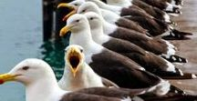 ptaki 3/ birds / papuga, koliber,zimorodek, dudek, struś, jemiołuszka, czapla ,dzięcioł,gil, żuraw,paw,szablodziób,szczudłate, warzęcha,mewa,pingwin,tukan,kukułka,pelikan,ibis,flaming, łabędź, altannik,gołąb, perlice,bażant,kaczka,gęś,kogut,kury .