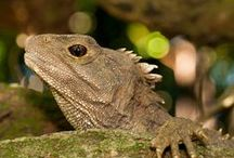 Reptiles & frogs / The animal group that includes reptiles and frogs is called herpetofauna. New Zealand has the tuatara, geckos and skinks, and four species of native frog (pepeketua) in this group.