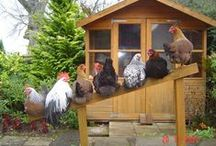 Hens / All things chicken like.... - les poules