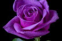 rose(роза)